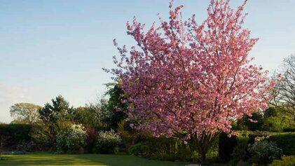 cerisier.jpg