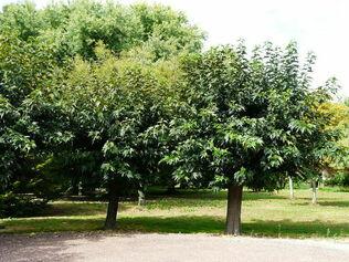 murier-platane-morus-kagayamae.jpg